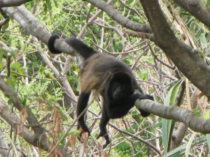 Howler Monkey Photo