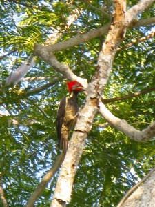 Costa Rica Red Headed Lineated Woodpecker