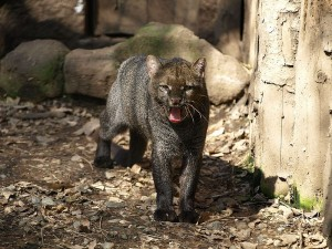 Photo of Jaguarundi