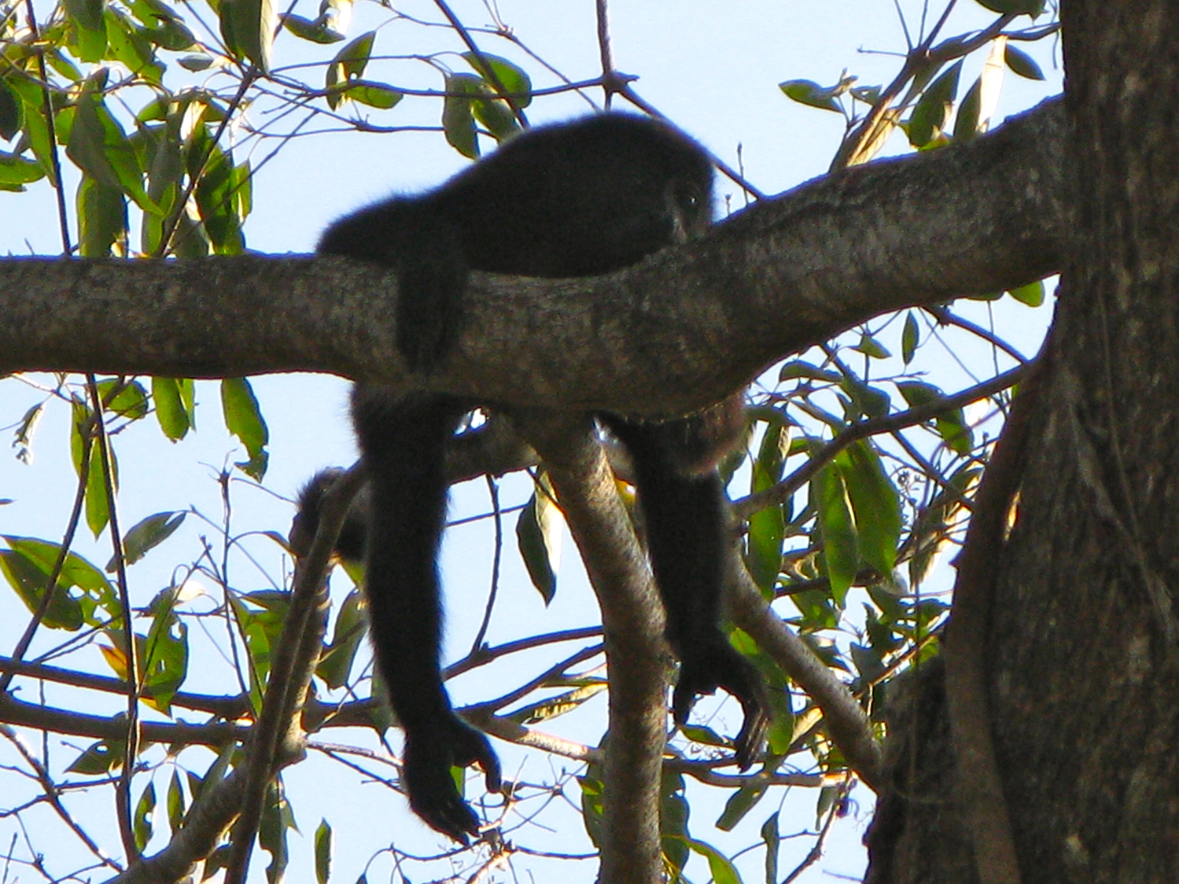Howler Monkey in Guanacaste tree